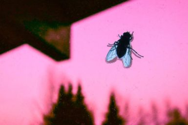 A fly against a pink window pane