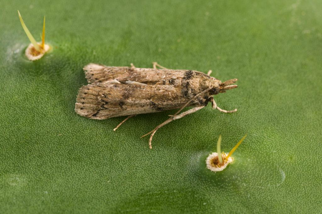 A cactoblastis moth