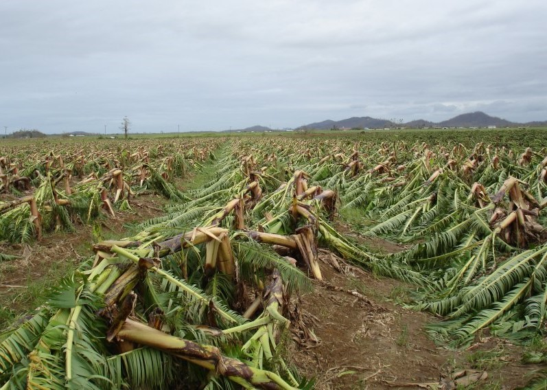 Banana plantations were flattened after Tropical Cyclone Larry in 2006. Photo: Bureau of Meteorology