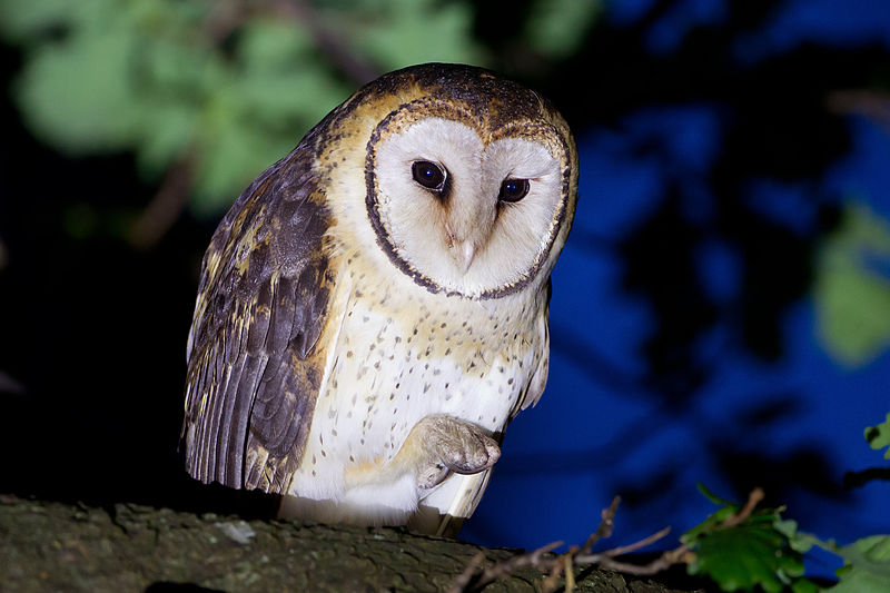 A masked owl on a branch