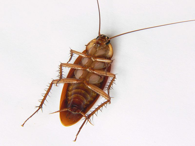 A picture of a dead cockroach