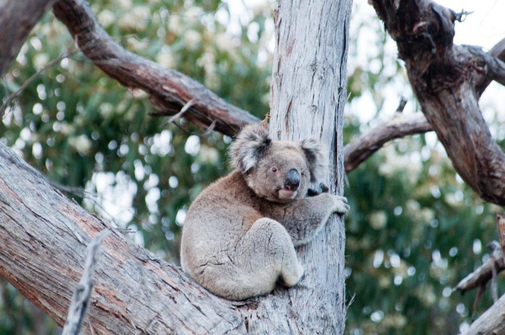 Koala in a branch