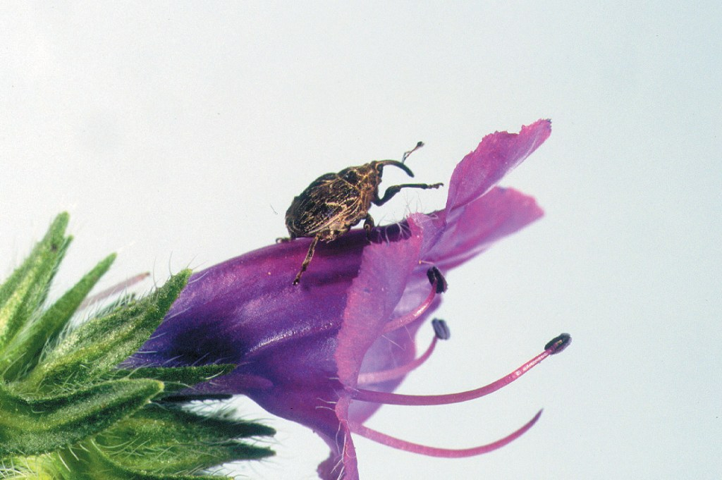 A weevil on a Paterson's curse flower.