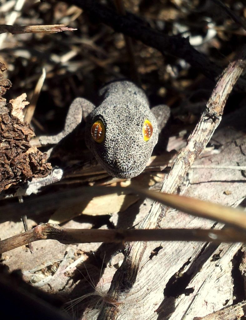 A Western Spiny-Tailed Gecko peaks out from some foliage