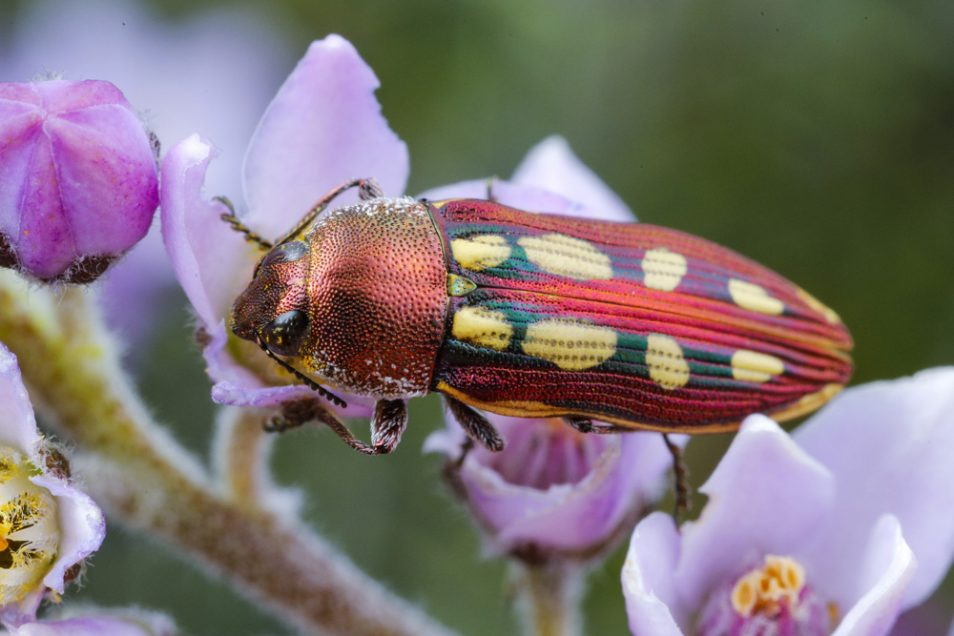 A jewell beetle (castiarina aura)