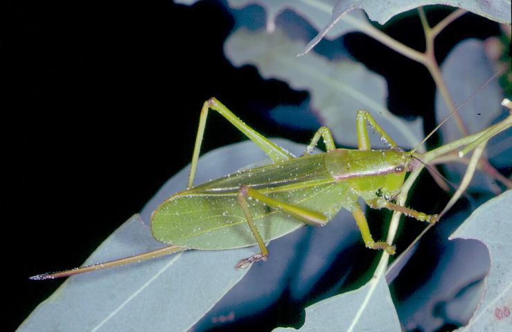 Green grasshopper on blue green leaves