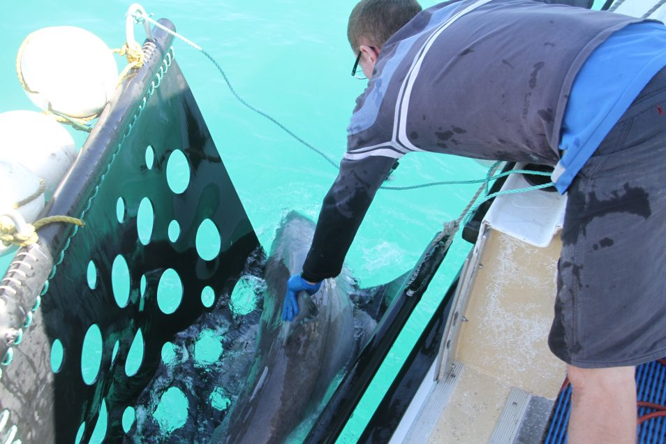 A research is pictured supporting a white shark to swim from its cradle after being tagged