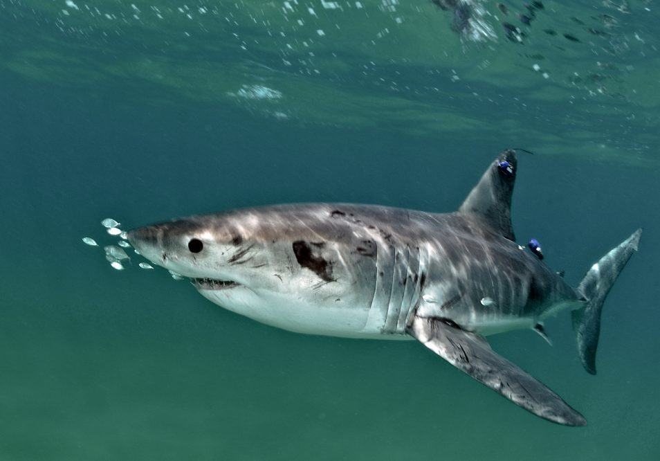 A white shark is pictured with an acoustic tag in its dorsal fin.