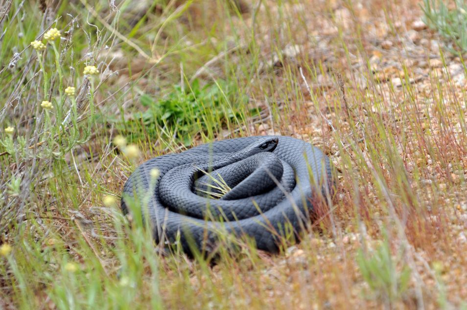 A red-bellied black snake, coiled up