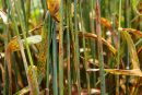 Wheat stem rust infected plants