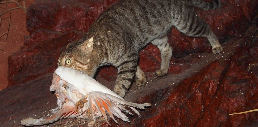 A cat kills a galah.