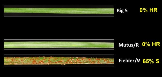 Green wheat stems side by side. Fielder, a susceptible wheat variety is badly affected by rust. Mutus and Big 5 are unaffected.