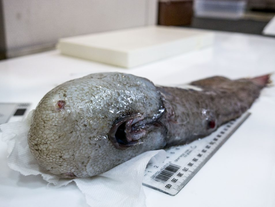 A image of a faceless fish. A fish with no visible eyes and a mouth on the underside of its head.