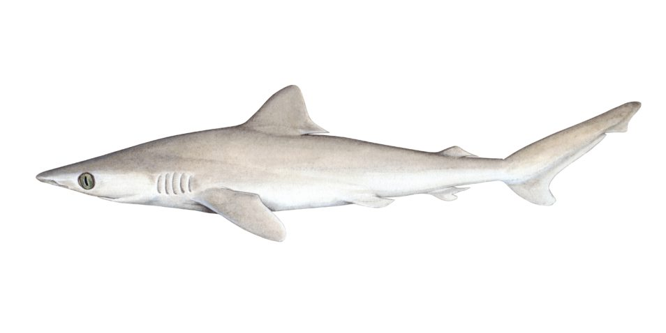 Water colour painting of a grey-coloured shark.