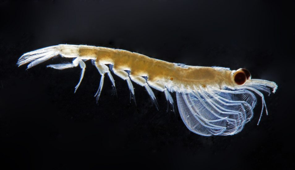 A photo of Nyctiphanes australis zooplankton