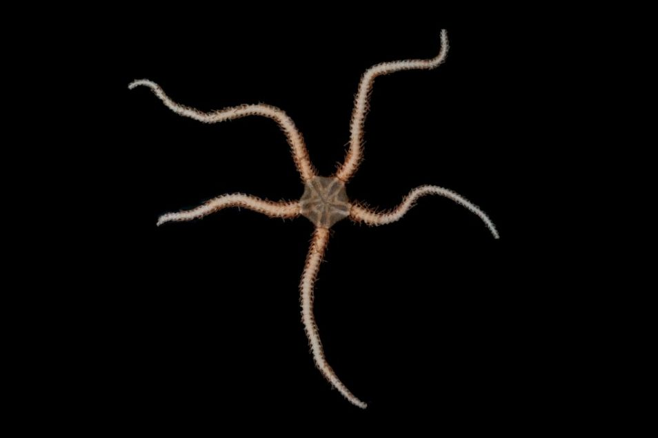A picture of a Ophiuroidea Brittle Star