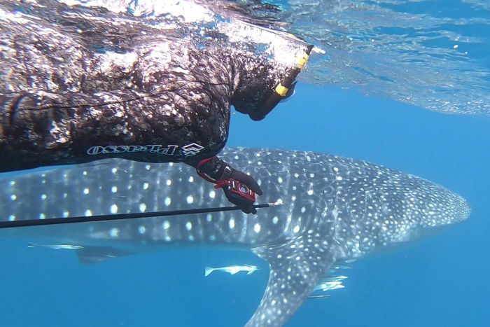 A whale shark in the water