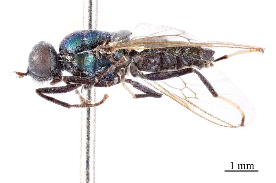 Side view of a pinned fly specimen.
