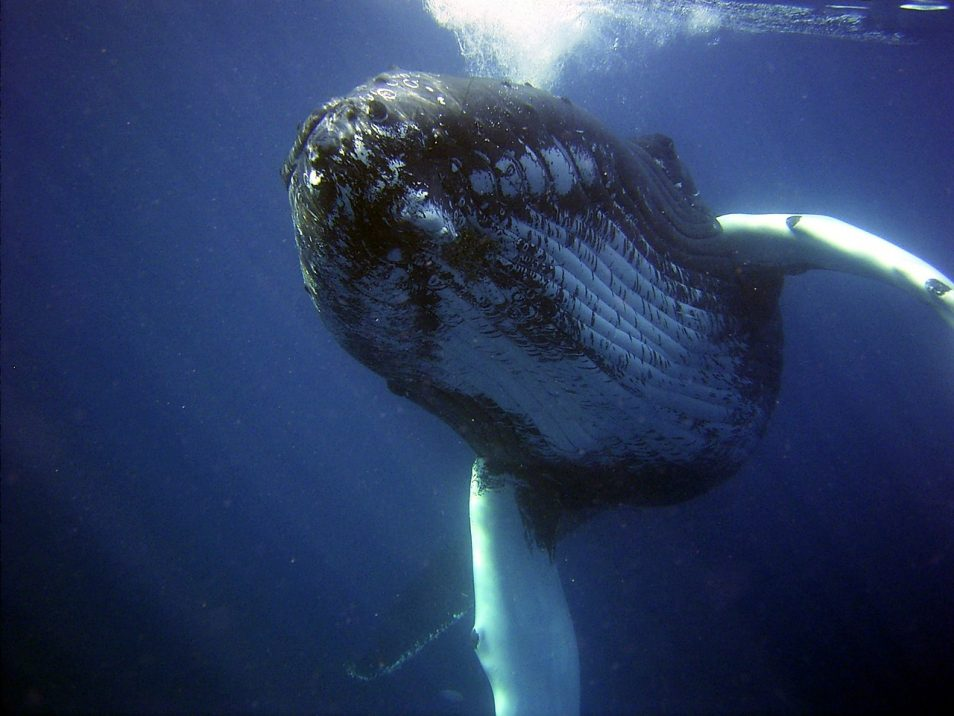 A humpback whale swimming under the surface of the water