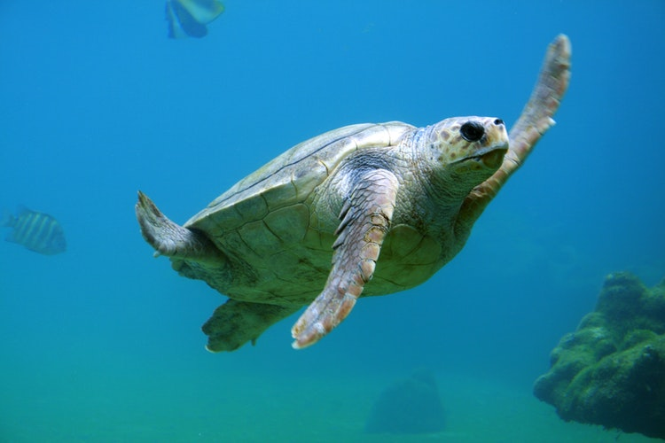 Turtle waving under water