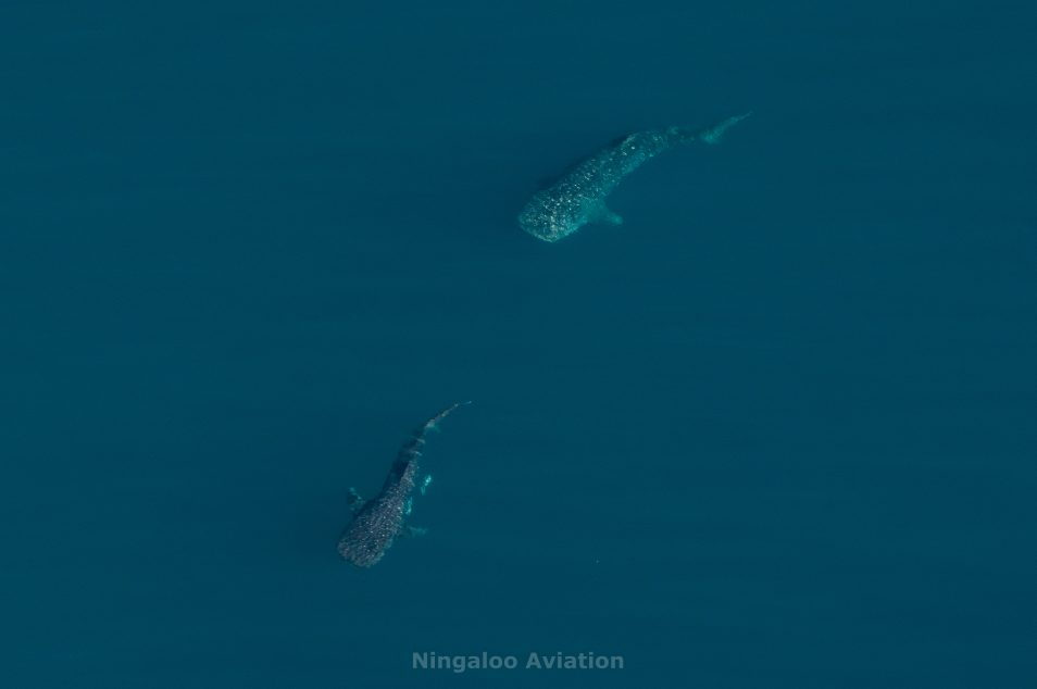 A male whale shark swimming near a female whale shark in the ocean