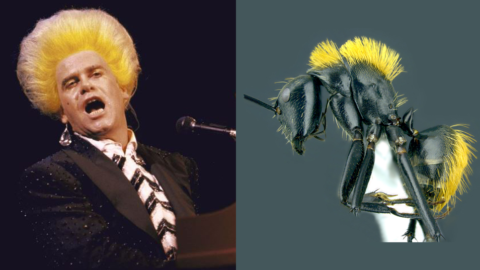 Elton John with bright yellow hair compared to black ant with yellow hair.
