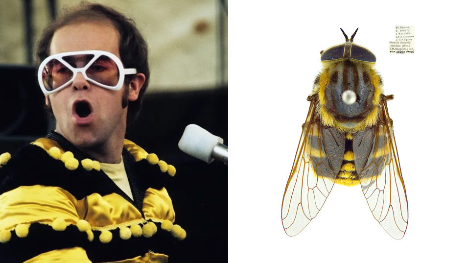Elton John in yellow and black striped top and white large sunglasses compared with yellow and black striped bee.