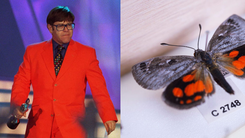 Elton John in a bright orange suit compared with a butterfly with bright orange on the lower half of it's wings.