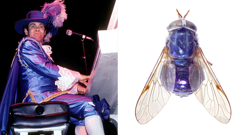 Elton John in a purple outfit, with hat, feather and cape. Compared to a purple fly.