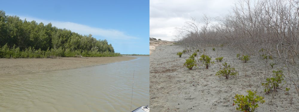 healthy mangrove on the left and dead mangrove on the right