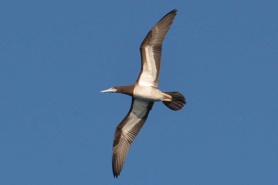 A brown booby against a mid-blue sky