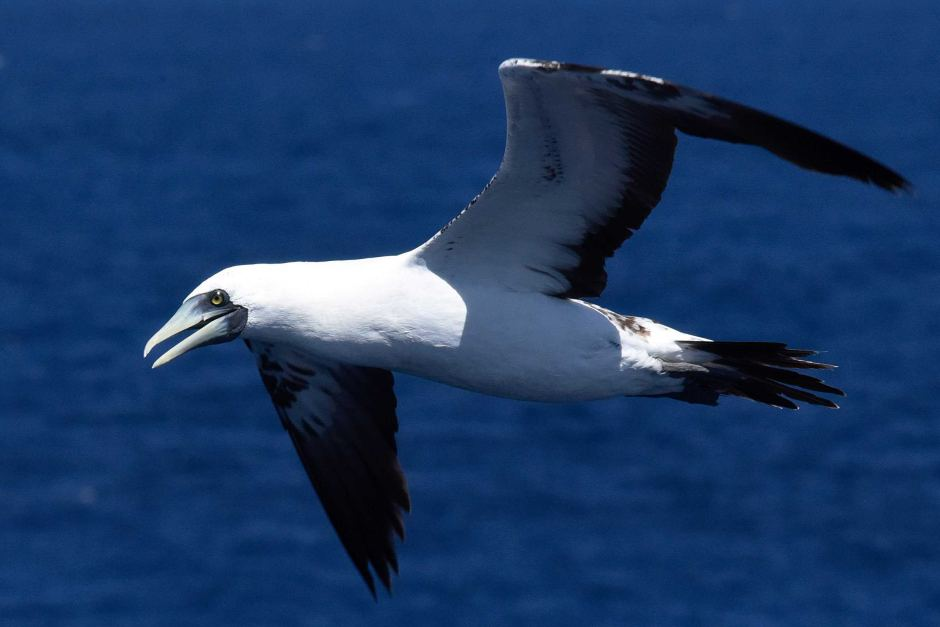 A flying bird against a blue ocean background