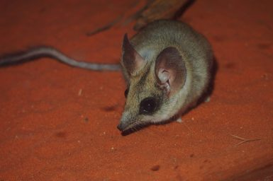 A kultarr (small mouse-like creature) on red dirt