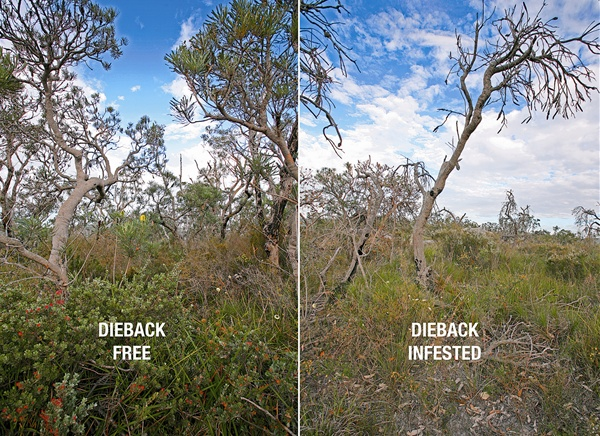 An example of the impact of dieback.