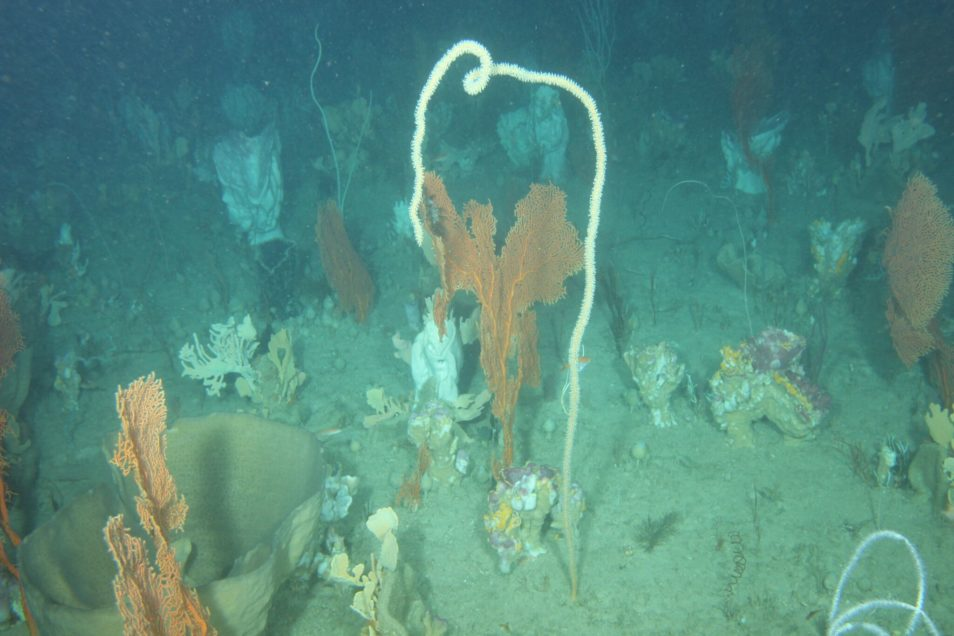 Image of the sea-bed at Ningaloo Reef featuring coral and sponges