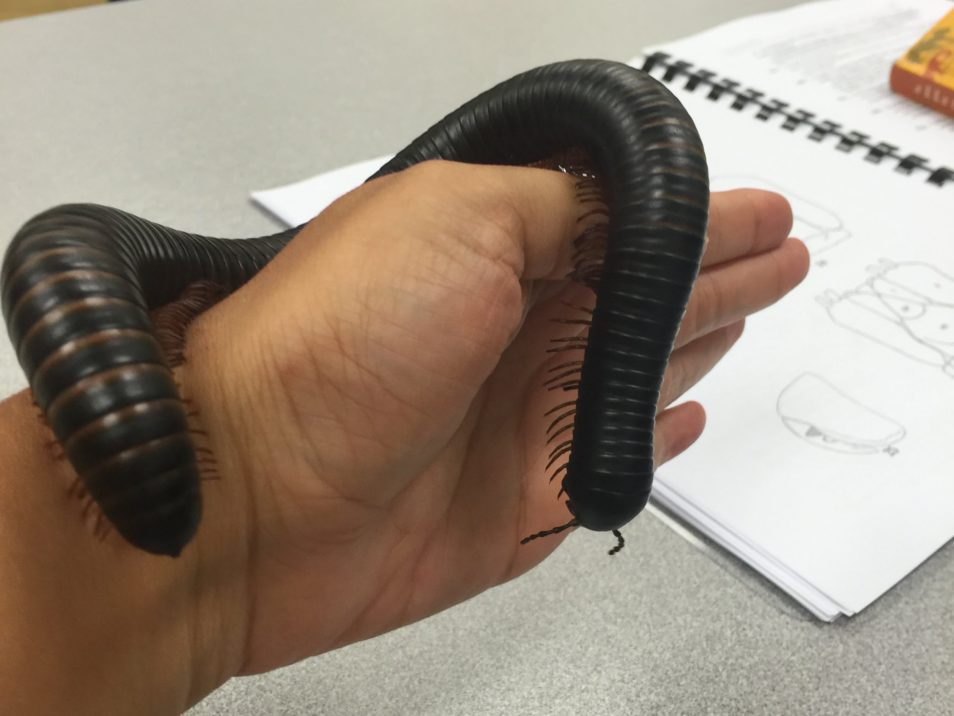 A huge black millipede on someone's hand.
