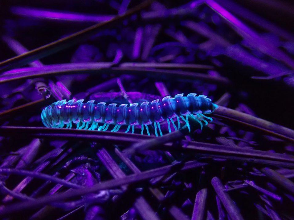 A bio-luminescent, glow in the dark millipede.