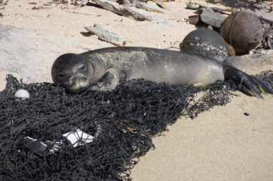 Monk seal lying on fishing net on a beach