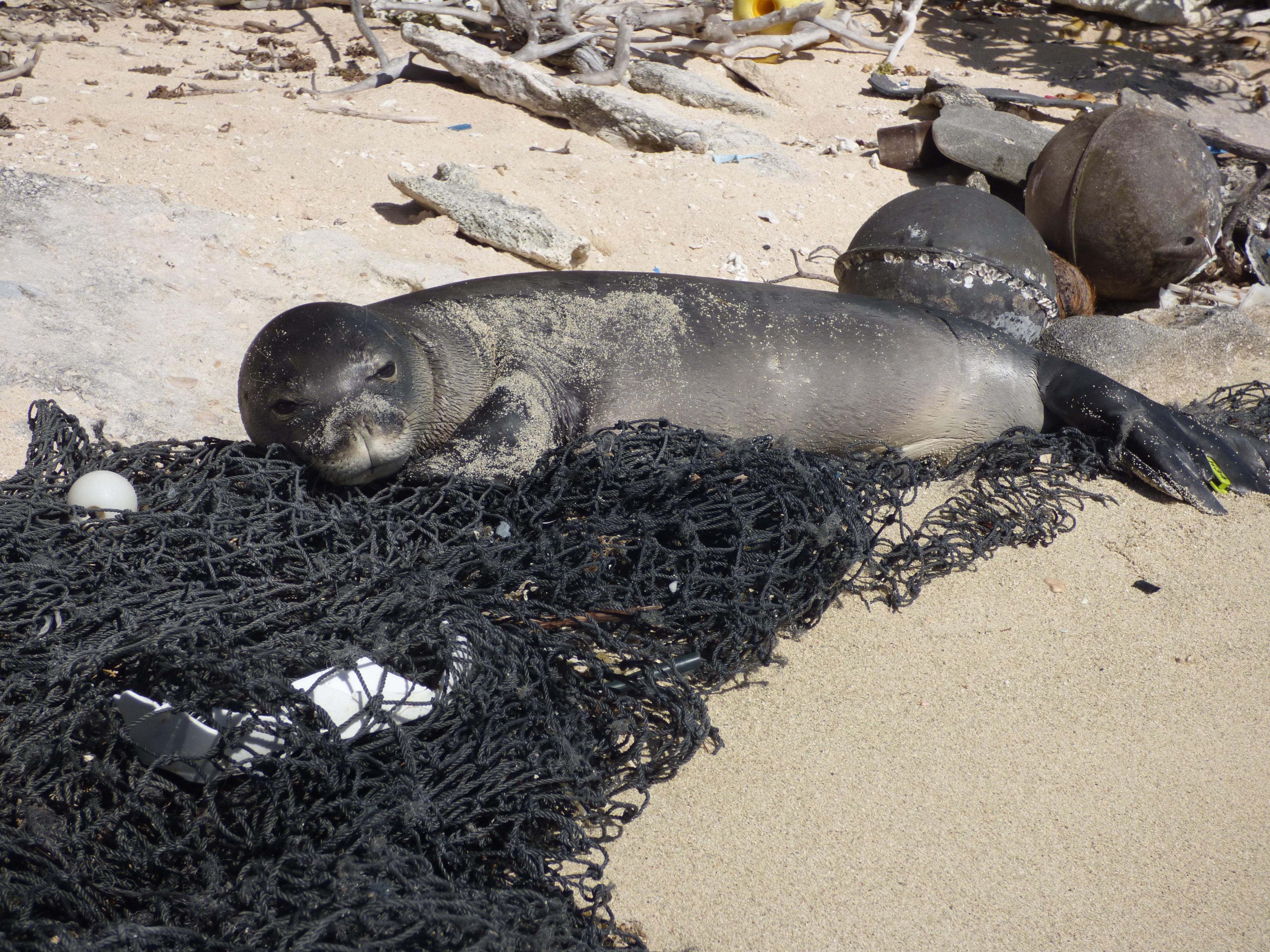 Monk seal lying on fishing net on a beach on a fishing net