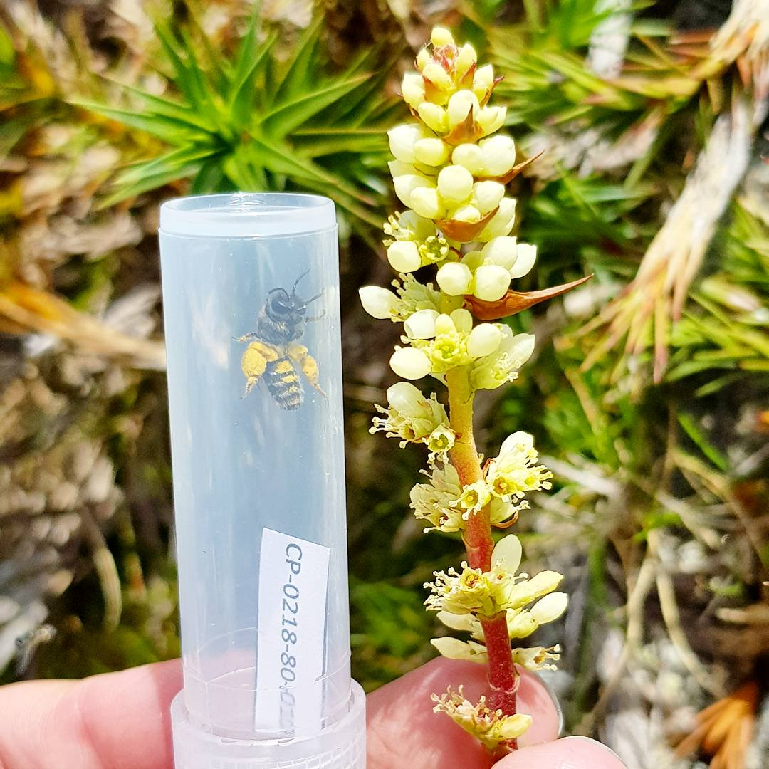 bee with large back legs in a plastic tube next to a flower pollinate