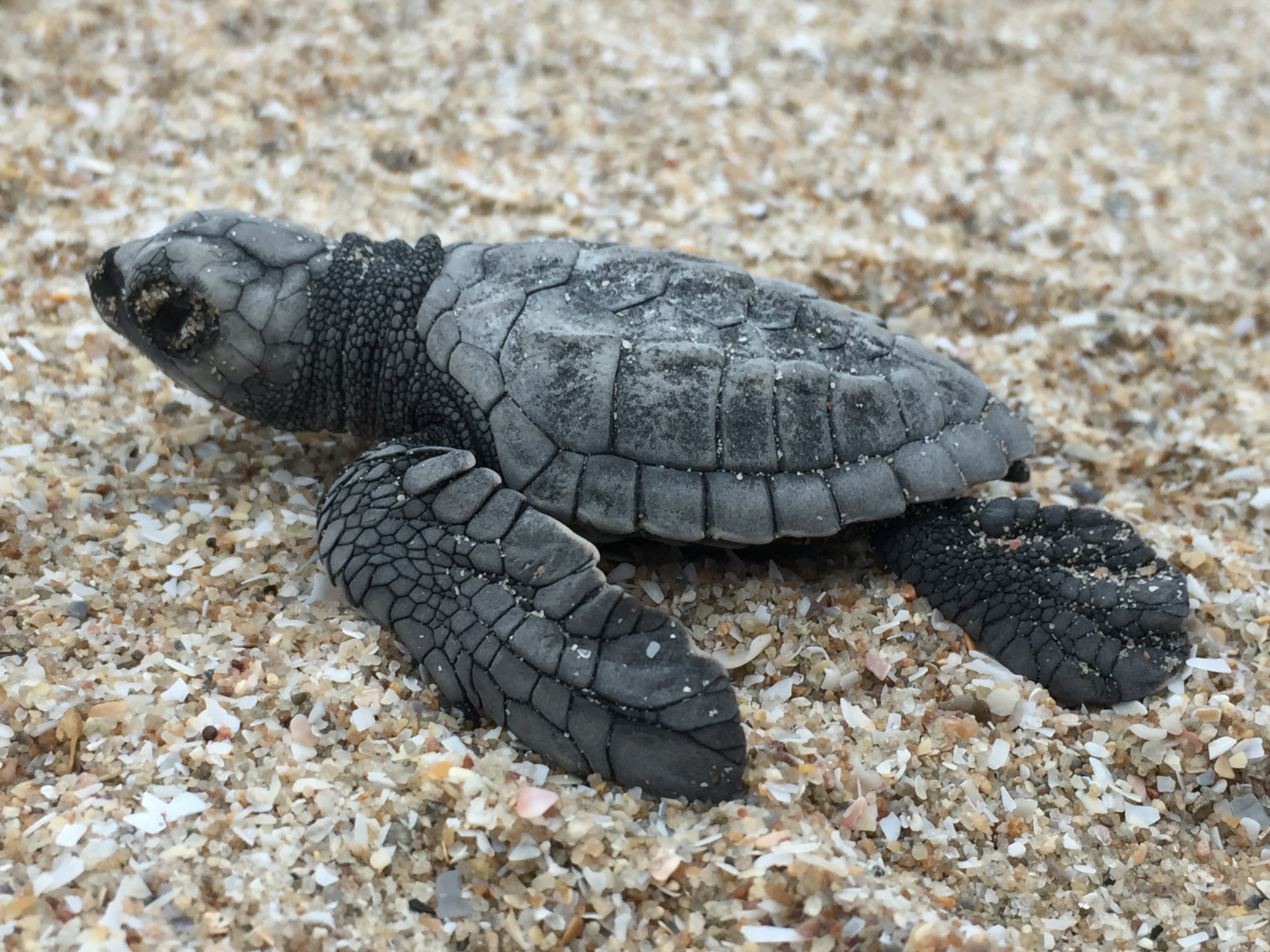 top view of a baby turtle on the sand