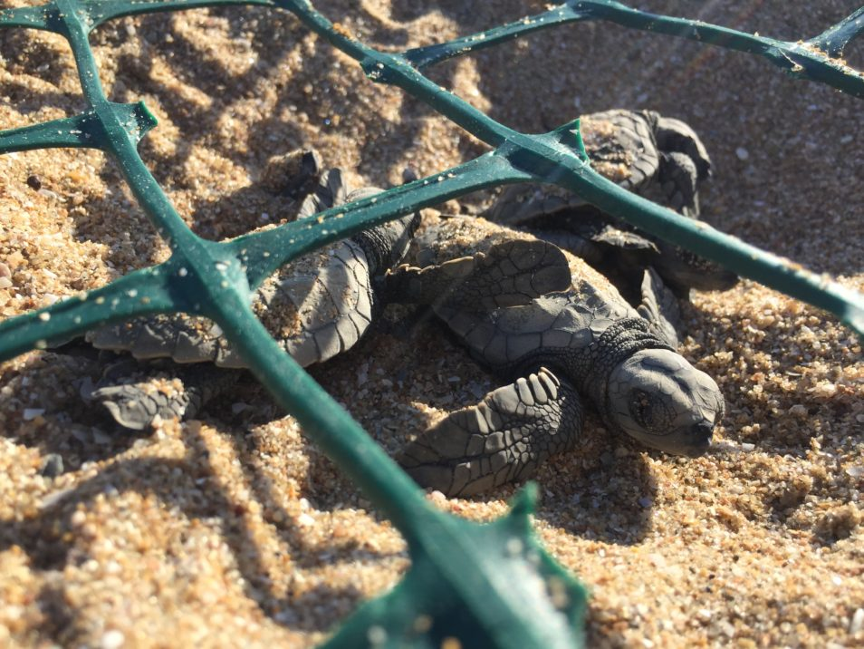 close up of green garden mesh over baby turtles on the sand