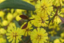 close up of yellow wattle blooms