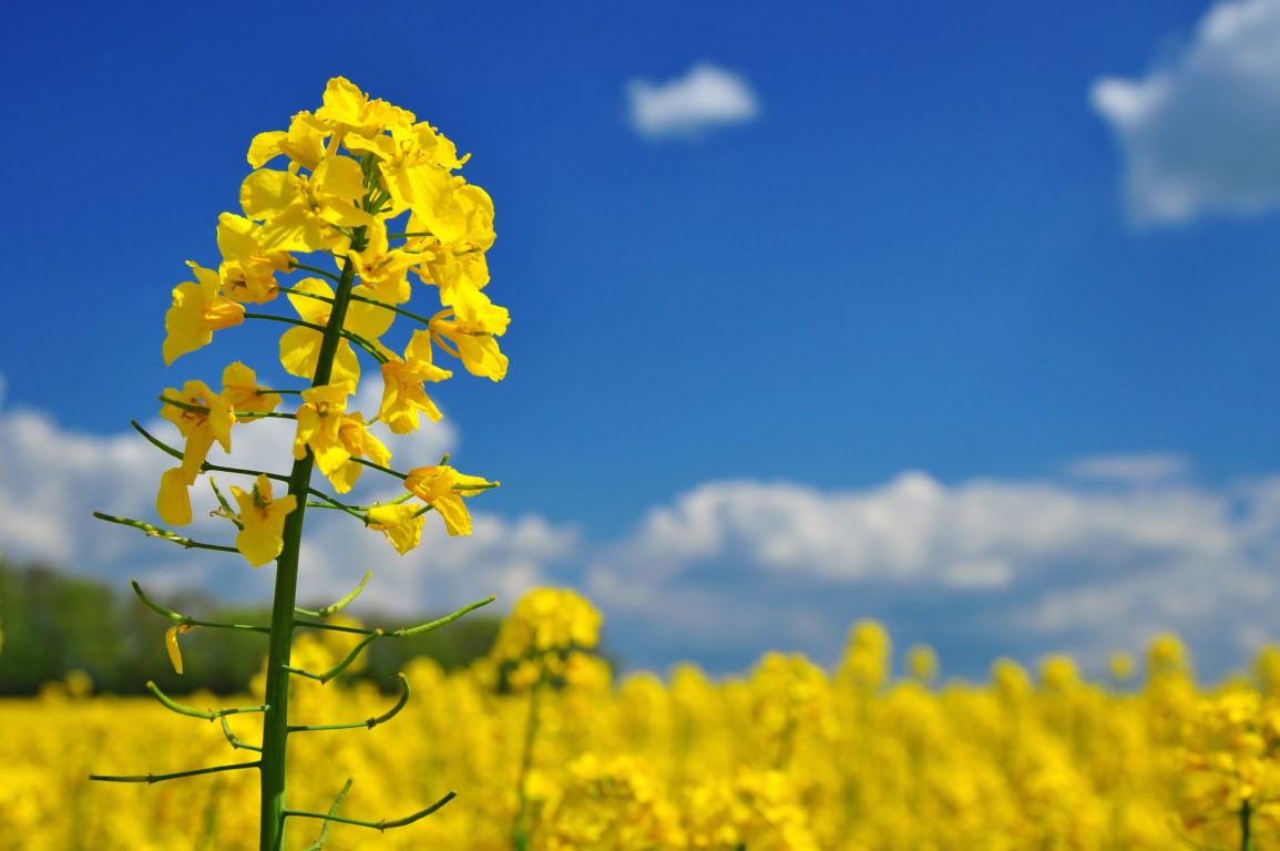 A field of flowering canola.