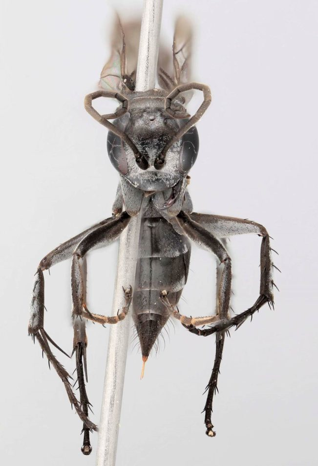 Grey wasp specimen on white background