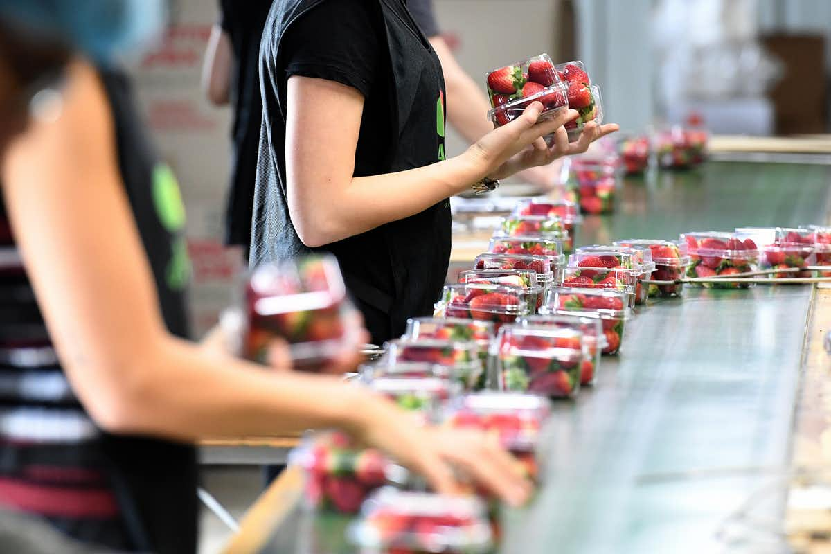 People packing strawberries into plastic punnets on a conveyor belt