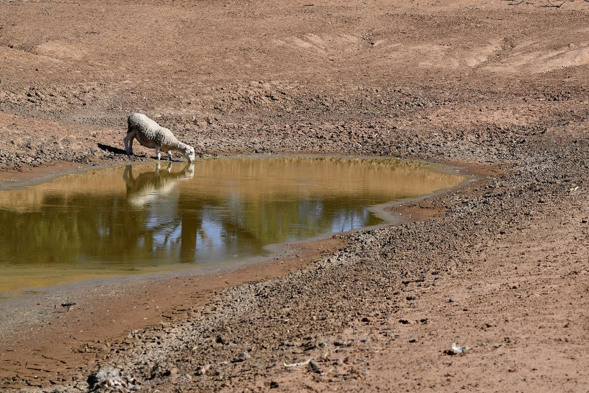 Sheep drinking from a shallow dam in a dry area