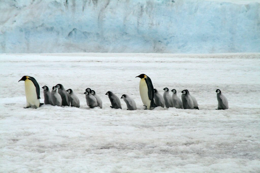Emperor penguins walk along the ice.