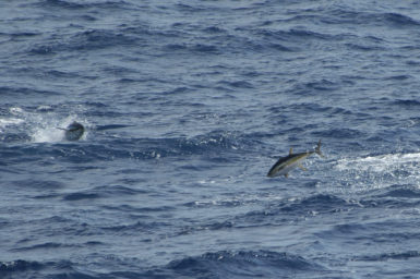 Two Yellowfin Tuna jump out of water