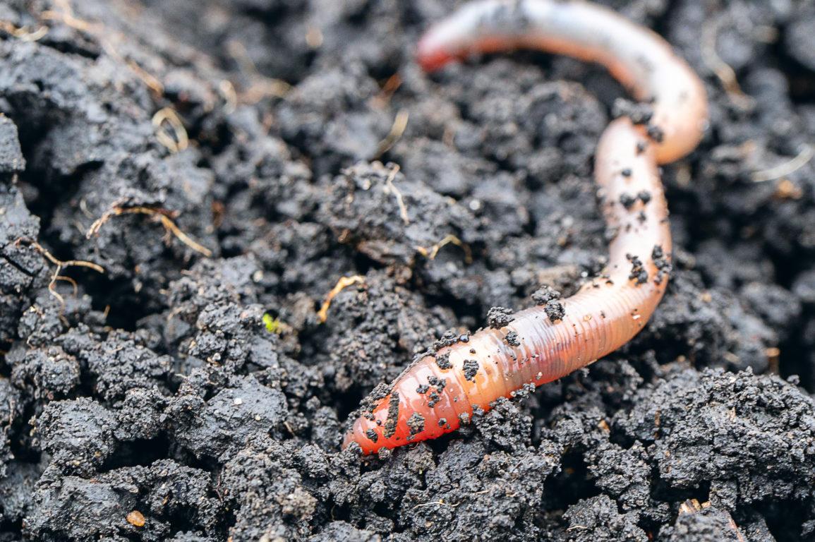 An earthworm moves through soil.